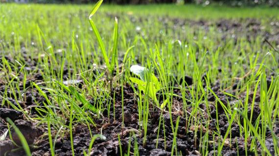 Wysiana, czy z rolki? Trawy do zakładania trawników w Krakowie